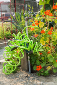 Issaquah, Washington, USA.  Nasturtiums growing in a community garden next to a colorful curled garden hose