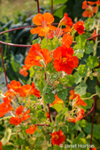 Issaquah, Washington, USA.  Nasturtiums growing in and around a plant cage