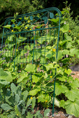 Issaquah, Washington, USA.  Squash growing up a metal trellis, next to some collard greens