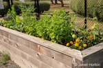Issaquah, Washington, USA.  Waist-high vegetable, herb and flower garden, with sweet basil, marigolds, tomatoes and other plants.