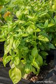 Issaquah, Washington, USA.  Italian Large Leaf Basil