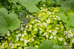 Issaquah, Washington, USA.  Feverfew growing among squash plants.