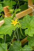 Issaquah, Washington, USA.  Romanesco Zucchini plant.