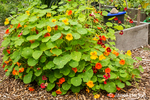 Issaquah, Washington, USA.  Nasturtiums overflowing the raised vegetable garden bed they were planted in.