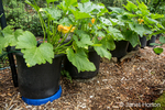 Issaquah, Washington, USA.  Summer squash growing in containers.
