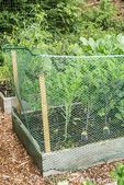 Issaquah, Washington, USA.  Surrounding a raised bed garden growing kale with plastic fencing deters rabbits from eating the plants.