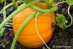 Bellevue, Washington, USA.  Ripe pumpkin in the field