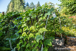 Bellevue, Washington, USA.  Violet Podded Stringless Purple pole beans growing on an arbor made of pvc pipes