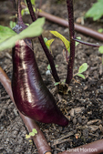 Bellevue, Washington, USA.  Yasakanaga hybrid eggplant