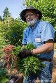 Bellevue, Washington, USA.  Male Master Gardener harvesting Purple Haze carrots.