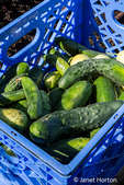 Bellevue, Washington, USA.  Crate of freshly harvested cucumbers