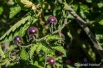 Bellevue, Washington, USA.  Blue Gold Berries heirloom tomato plant.
