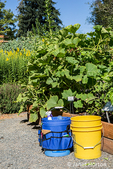 Bellevue, Washington, USA.  Buckets of garden tools in front of Buttercup Kabocha squash plants