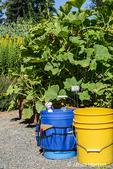Bellevue, Washington, USA.  Buckets of garden tools in front of Buttercup Kabocha squash plants