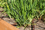 Bellevue, Washington, USA.  Garlic Chives growing.
