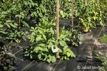Black garden fabric being used for weed control around sweet pepper plants.
