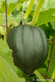 Acorn squash ready to harvest.