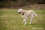 "Issaquah, Washington, USA.  13 year old American Yellow Labrador, ""Cedar"", walking in a park."