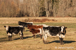 Pinzgauer beef cattle in a pasture.  Pinzgauers are primarily a deep chestnut red color, although there is also a black variant, and have white on their topline, barrel, tails and rump.  Pinzgauers are more of a beef-type animal than dairy, although this breed can be considered as a dual-purpose breed.