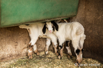 Issaquah, Washington, USA.  Shy 12 day old mixed breed Nubian and Boer goat kids hiding under a feeding trough.