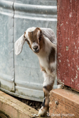 Issaquah, Washington, USA.  12 day old mixed breed Nubian and Boer goat kid curiously looking out behind a corner
