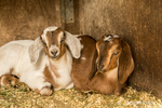 Issaquah, Washington, USA.  Snuggly 12 day old mixed breed Nubian and Boer goat kids