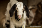 Issaquah, Washington, USA.  Twelve day old mixed breed Nubian and Boer goat kid eating hay for the first time