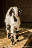 Issaquah, Washington, USA.  12 day old mixed breed Nubian and Boer goat kid posing in an open area of the barn