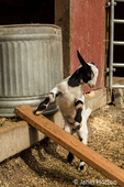 Issaquah, Washington, USA.  12 day old mixed breed Nubian and Boer goat kid trying to jump onto a ramp to the barn