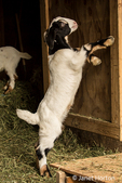 Issaquah, Washington, USA.  12 day old mixed breed Nubian and Boer goat kid playing with a barn door