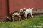 Issaquah, Washington, USA.  12 day old mixed breed Nubian and Boer goat kids exploring outside their barn