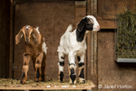 Issaquah, Washington, USA.  Two 12 day old mixed breed Nubian and Boer goat kids posing in an open area of the barn