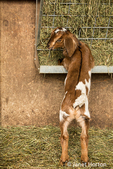 Issaquah, Washington, USA.  12 day old mixed breed Nubian and Boer goat kid eating hay for the first time