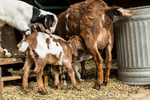Issaquah, Washington, USA.  Two 12 day old mixed breed Nubian and Boer goat kids nursing as another looks on