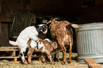 Issaquah, Washington, USA.  Two mixed breed Nubian and Boer goats nursing while a third mounts one of the others.  Goat kids start mounting each other even when they're only a few days old. They are practicing to be grownup goats, but they're also attempting to establish dominance.