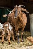 Issaquah, Washington, USA.  12 day old mixed breed Nubian and Boer goat kid nursing