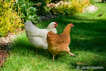 Free-ranging chickens White Plymouth Rock named Zoe, and Buff Orpington named Cutie, in my backyard