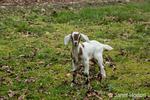 Issaquah, Washington, USA.  12 day old mixed breed Nubian and Boer goat kid exploring the barnyard