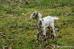 Issaquah, Washington, USA.  12 day old mixed breed Nubian and Boer goat kid exploring the barnyard
