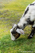 Issaquah, Washington, USA.  Adult doe mixed breed Nubian and Boer goat grazing on grass