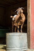Issaquah, Washington, USA.  Adult doe mixed breed Nubian and Boer goat standing on an upside down metal trough for a vantage point