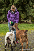 Issaquah, Washington, USA.  Woman feeding treats to her adult doe mixed breed Nubian and Boer goats