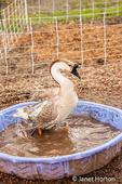 Carnation, Washington, USA.  Domestic Swan Goose bathing in a wading pool. (PR)