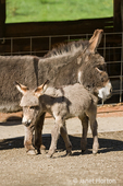 Fall City, Washington, USA. Affectionate mother and foal Mediterranean miniature donkey.