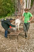Fall City, Washington, USA.  Woman being taught to milk a goat.