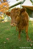 3/4 Dexter baby red cow