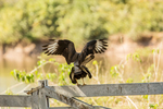 Southern Crested Caracaras mating on a wooden fence.