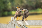 Southern Crested Caracara in the Pantanal area of Brazil.