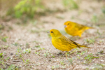 Saffron Finches feeding on scattered seed.