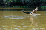 Great Black Hawk swooping down to the river to catch a fish in the Pixaim river in the Pantanal area of Brazil.